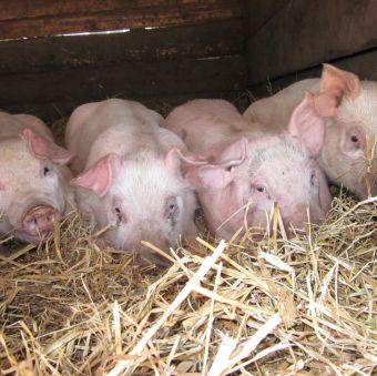 U.P. piglets