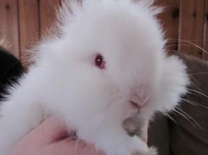 Lionhead Albino Rabbit