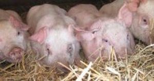 piglets for 4-H
