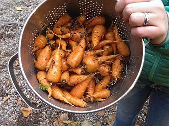 Luke Carrots from the Garden Winter Food
