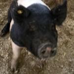Livestock at Pig-A-Palooza
