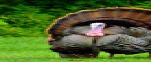 Michigan Fall turkey application period open now through August 1, 2020